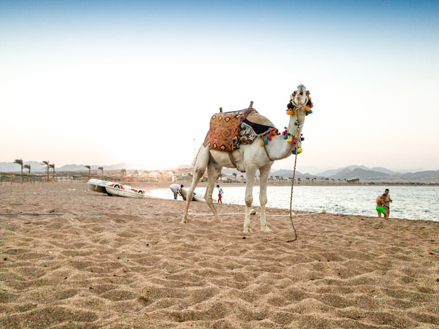 Piękny biały wielbłąd z ozdobnym siodełkiem na morskiej plaży w egipcie