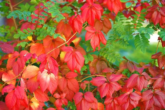 Piękny bluszcz wspinaczkowy z czerwonymi liśćmi
