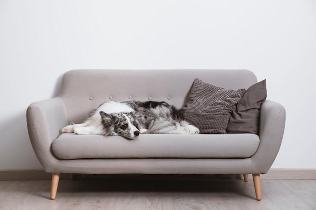 Piękny border collie na kanapie