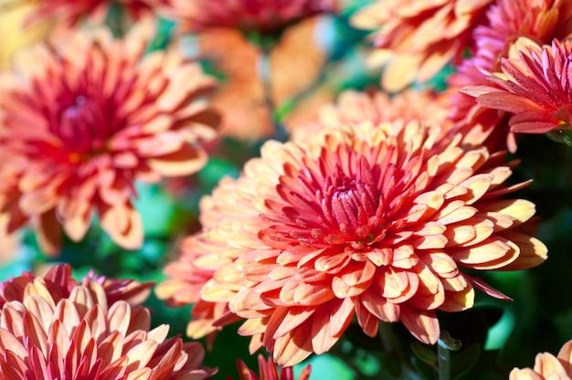 Piękny bordowy kwiat chryzantemy jesień żywe tło