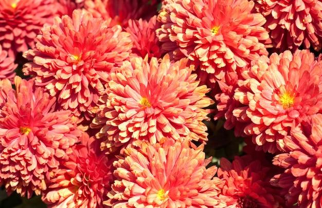 Piękny bordowy kwiat chryzantemy jesienią żywy