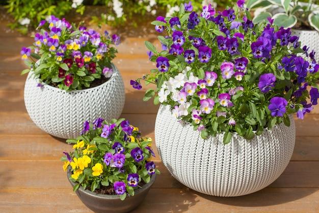 Piękny bratek letnich kwiatów w doniczkach w ogrodzie