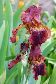 Piękny brązowy irysowy kwiat