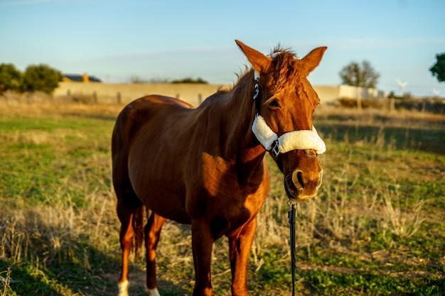 Piękny brązowy koń w polu w ciągu dnia