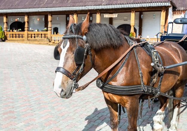 Piękny brązowy koń w zaprzęgu