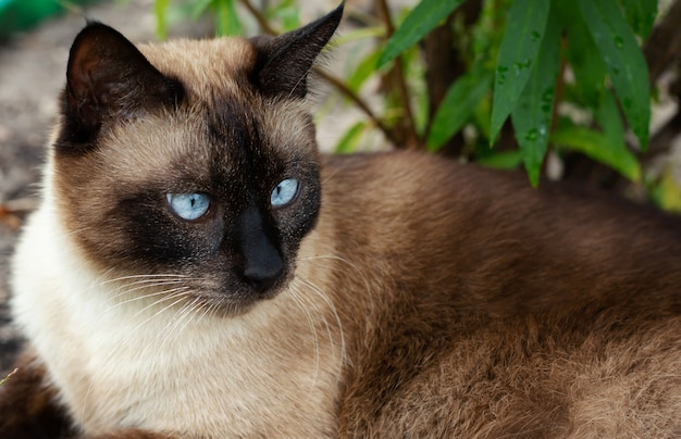 Piękny brązowy kot syjamski o niebieskich oczach leży na zielonej trawie