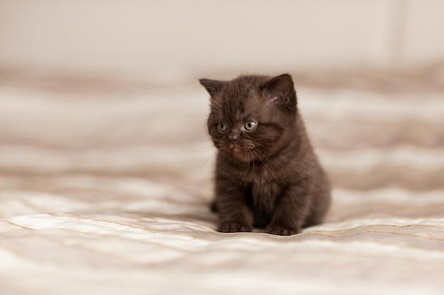 Piękny brązowy kotek siedzi na szkockiej kracie