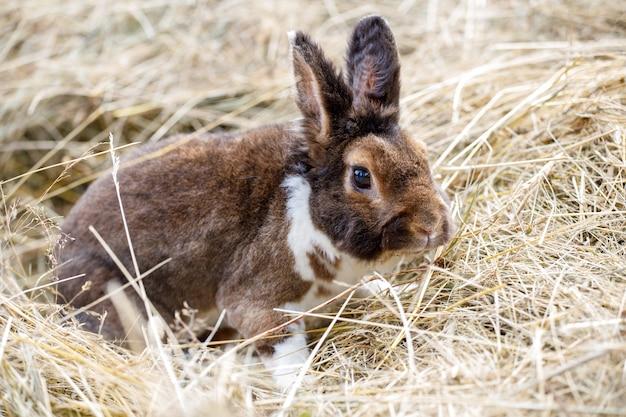 Piękny brązowy królik siedzący na sianie