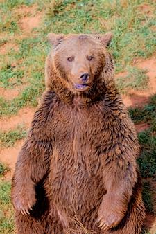 Piękny brązowy niedźwiedź hiszpański