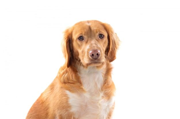 Piękny brązowy pies bretoński