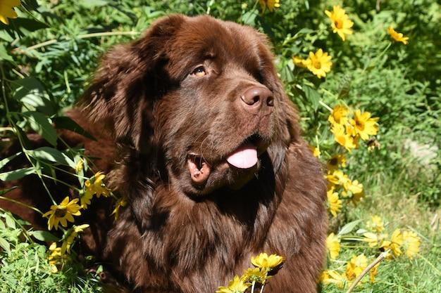 Piękny brązowy pies nowofundlanda otoczony kwitnącymi żółtymi kwiatami w ogrodzie.