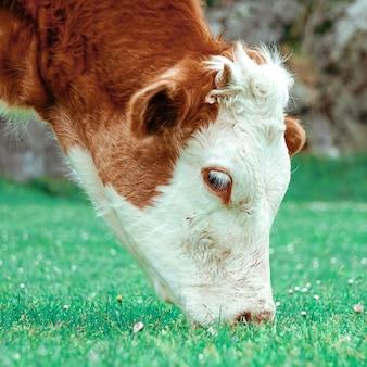 Piękny brązowy portret krowy na łące