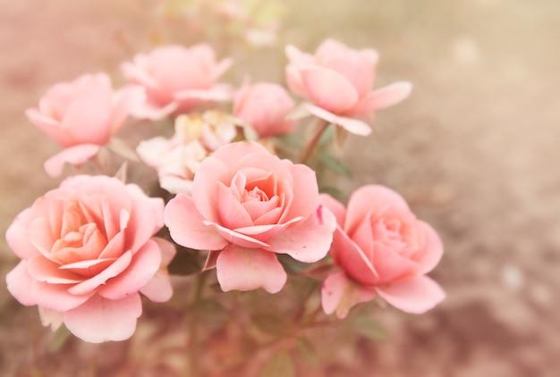 Piękny bukiet małych różowych róż, przyciemniane zdjęcie