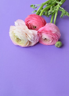 Piękny bukiet różowych kwiatów jaskier na liliowej powierzchni