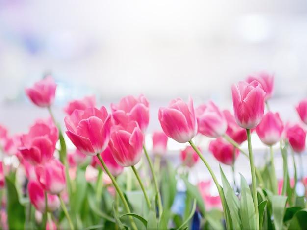 Piękny bukiet tulipany kwitnie w ogródzie, jaskrawy kolorowy tulipanowy fotografii tło.