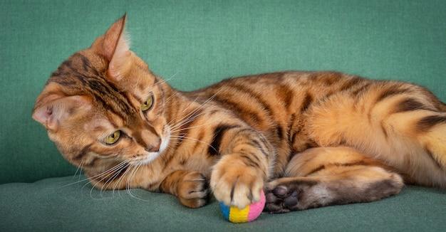 Piękny cętkowany kot leżący na zielonej sofie bawiący się zabawkową piłką