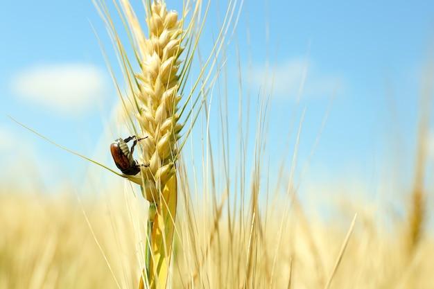 Piękny chrząszcz na kłosie pszenicy w polu