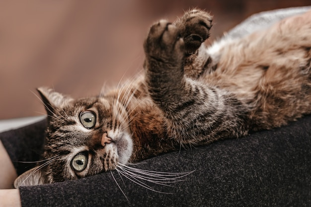 Piękny ciemny kot relaksujący na kobiecych nogach, siedząc na podłodze. śliczne zwierzaki