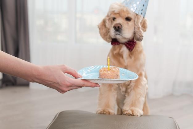 Piękny cocker spaniel pet urodziny w party stożek kapelusz cios w świecę na psie może jedzenie jako ciasto na jednorazowym talerzu pod ręką
