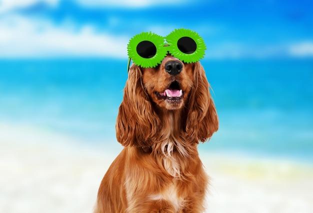 Piękny cocker spaniel w okularach przeciwsłonecznych na białym tle