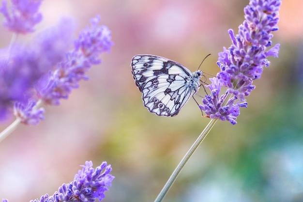 Piękny czarno-biały motyl siedzi na fioletowej lawendzie