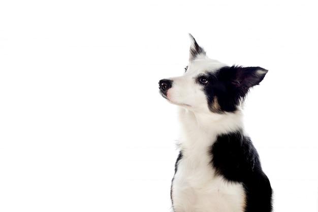 Piękny czarno-biały pies rasy border collie