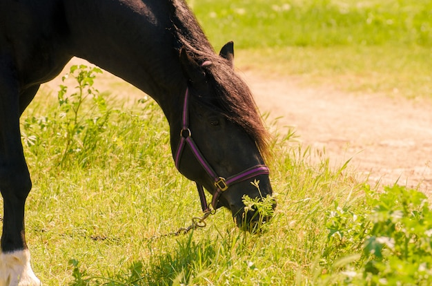 Piękny czarny koń na zewnątrz. pojęcie jazdy konnej.
