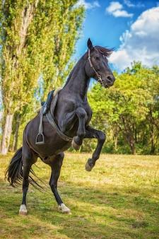 Piękny czarny koń stoi na tylnych łapach w przyrodzie
