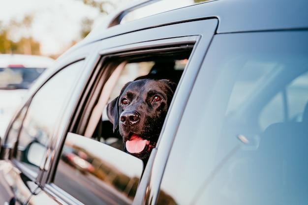 Piękny czarny labrador w samochodzie przygotowywającym podróżować. miasto w tle. oglądanie przy oknie o zachodzie słońca. koncepcja podróży