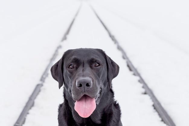 Piękny czarny labrador w śniegu