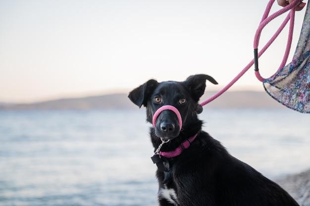 Piękny czarny owczarek z różową smyczą siedzi na plaży.