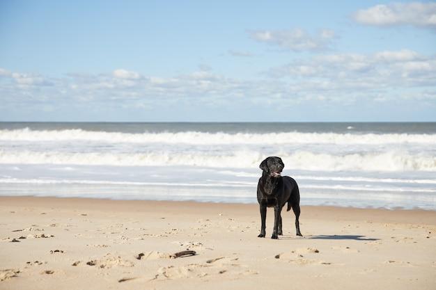 Piękny czarny pies stojący nad morzem w słoneczny dzień na plaży
