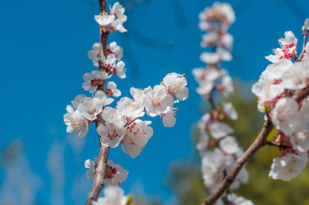 Piękny czereśniowy okwitnięcie sakura w wiośnie nad niebieskim niebem