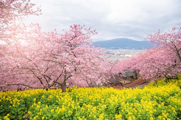 Piękny czereśniowy okwitnięcie w matsuda, japonia