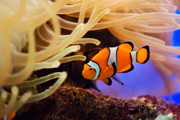 Piękny czerwony clownfish makro