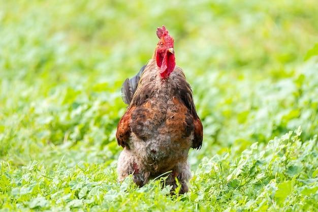 Piękny czerwony kogut na zielonej trawie, rustykalny charakter na farmie