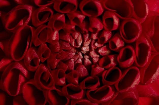 Piękny czerwony kolorowy słoneczny kwiat dalii tekstura bliska widok kwiatu na brązowym tle