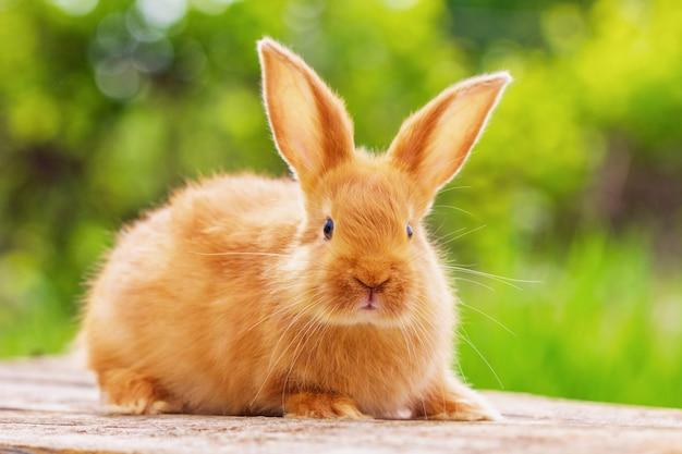 Piękny czerwony królik na naturalnym zielonym tle