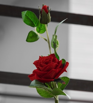 Piękny czerwony kwiat róży