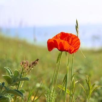 Piękny czerwony mak z zieloną trawą powierzchni