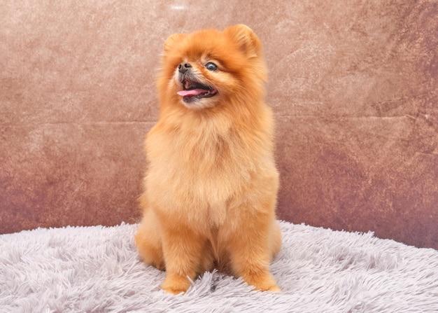 Piękny czerwony pomorski pies z przodu z uroczym wyrazem twarzy na pięknym rocznika siedzi na dywaniku.