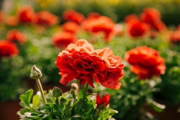 Piękny czerwony ranunculus kwiat w świetle słonecznym