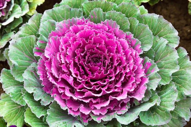Piękny dekoracyjny kapuściany warzywo
