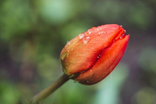 Piękny delikatny nieotwarty różowy tulipan, pokryty kroplami deszczu z bliska w stylu vintage