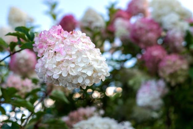 Piękny delikatny różowy biały kwiat hortensji kwitnący w parku