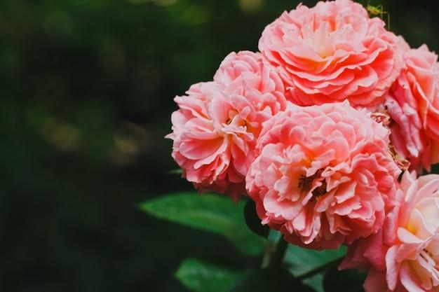 Piękny delikatny różowy kwiat róży na gałązce z zielonymi liśćmi