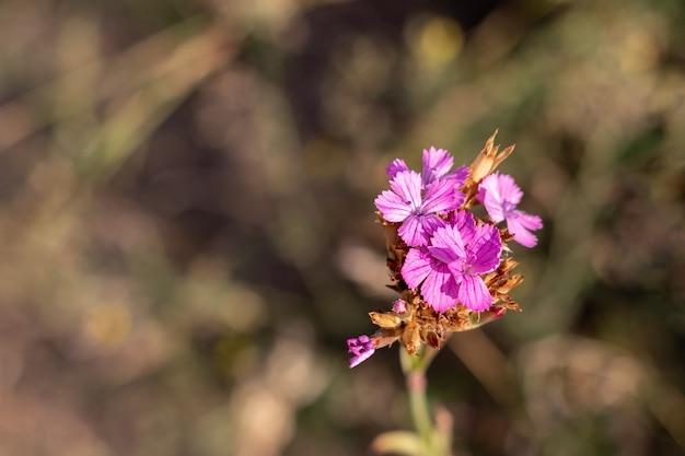Piękny dianthus carthusianorum cartusian różowy dziki kwiat