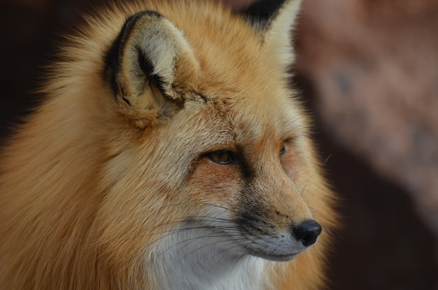 Piękny długi nos rudego lisa.