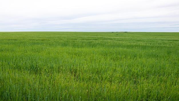 Piękny dojrzewający plon zielonej trawy pszenicznej krajobraz na wiejskich terenach hiszpanii