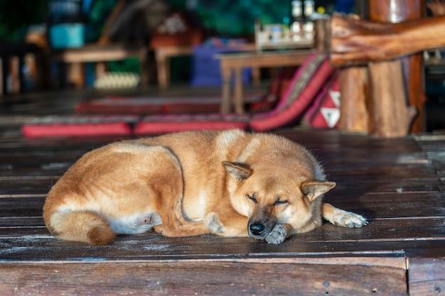 Piękny domowy pies śpi na drewnianej podłodze w kawiarni, z bliska, tajlandia